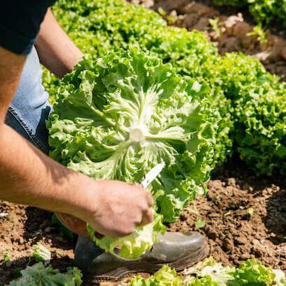 Isabelle et Daniel Behuret, nos producteurs de salades.