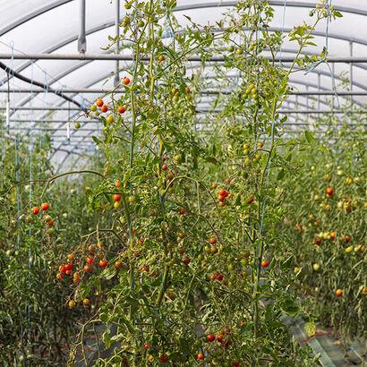 La Grande Épicerie de Paris - La Ferme des deux rives - Récolte - Tomate